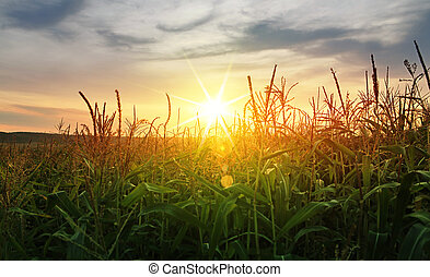 corn growing up under sun - A green field of corn growing up...
