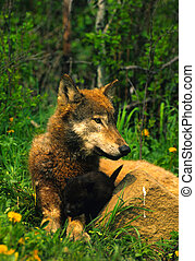 Female Wolf with Pup - a female wolf laying with her black...