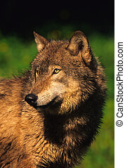 Gray Wolf - a close up of a beautiful gray wolf