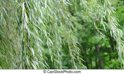Wind in the Willow - A video of a breeze blowing through the...