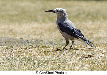 Clark's nutcracker on the dry yellow fiels in British...