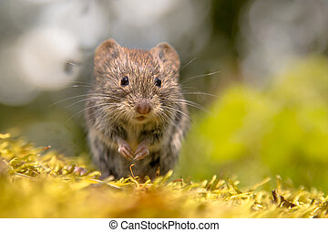 Frontal view of cute Bank vole (Clethrionomys glareolus)...