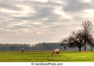 cow - The young farm cow stands on field, (animals series)