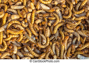 Mealworm larvae background - Living mealworm larvae...