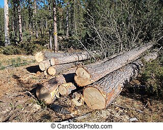 Logging Site - Cut trees wait in a pile for the skidder to...