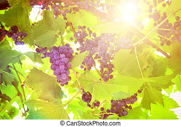 Bunch of black grapes on plant in a vineyard