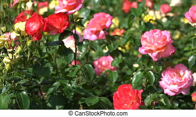 Beautiful red and pink roses on the flowerbed.