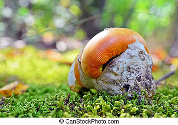 amanita caesarea mushroom - edible and delicious amanita...