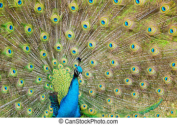 Brilliant colors of a peacock