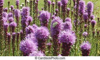 Purple flowers on the meadow