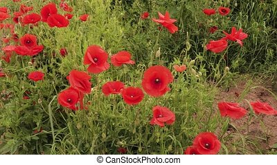 Red poppy in a meadow