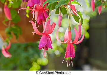Fuchsia flowers - Beautiful fuchsia flowers hanging from the...