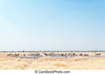 Herds of Burchells zebras and blue wildebeest at a waterhole...