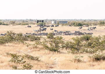 Burchells zebras and blue wildebeest seen from the...