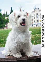 Cute fluffy white dog in the city