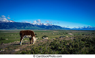 Hereford calf in Patagonia - Hereford calf grazing in a...