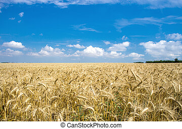 Gold wheat field and blue sky. Ukraine, Europe. Beauty world.