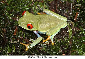 Red-eyed Tree Frog (Agalychnis callidryas) sitting on moss
