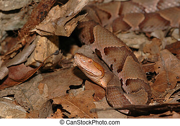 Agkistrodon contortrix phaeogaster - An osage copperhead can...