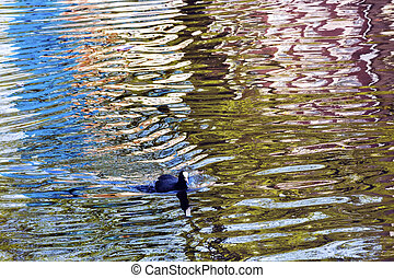 European Coot Duck Reflection Singel Canal Amsterdam Holland...
