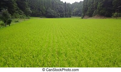 tracking shot of rice field - tracking shot of green rice...
