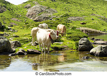 Cows drinking in a mountain lake - white cows drinking in a...