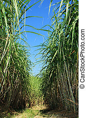 Sugarcane plantation - Field of sugar cane