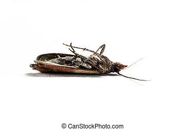 Cloth moth macro - Brown dead cloth moth isolated on white...