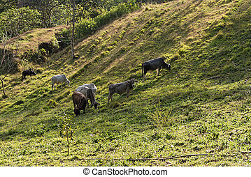 Small cattle herd at lake arenal, costa rica