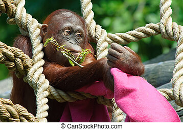 cute baby orangutan playing in the zoo