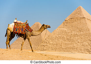 Camel Walking Pyramids - A camel walks in front of the...