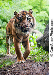 Sumatran tiger looking at the camera