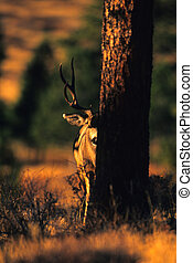 Peekaboo Mule Deer Buck - a mule deer buck peeking around a...