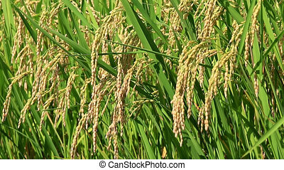 rice plant waving in the wind - Fixed shot of rice plant...