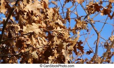 Autumn wind in oak tree