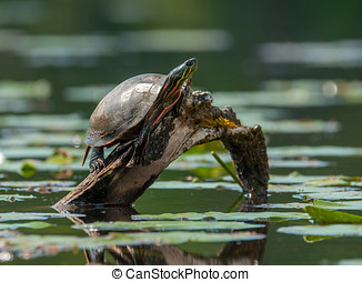 Painted Turtle - A colorful Painted Turtle captured basking...
