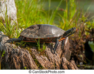 Painted Turtle - A Painted Turtle with a seriously damaged...