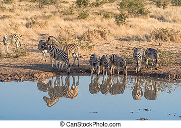 Burchells zebras with their reflections visible in a...