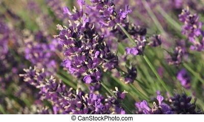 Purple lavender flowers in the field. Beautiful violet wild...