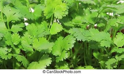 fresh cilantro - close-up of green fresh silantro
