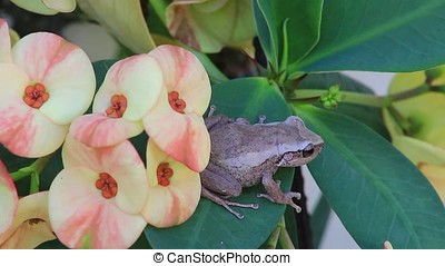 coqui frog - close-up of male coqui frog,coqui frog is a...