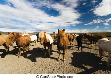Icelandic horses - The Icelandic horse is a breed of horse...