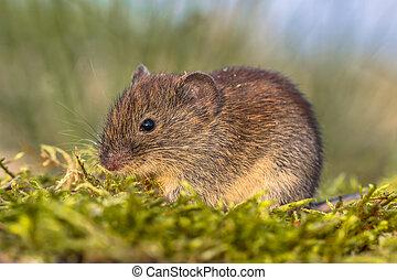 Bank vole in grass field - Wild Bank vole (Myodes glareolus;...