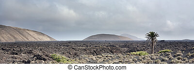 Lonely tree in the barren landscape of lava fields