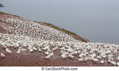 gannets birds colony at Bonaventure Island Quebec Canada...
