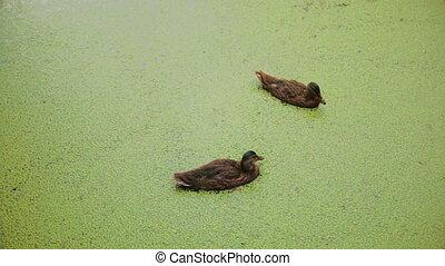 Ducks contaminated River ecology damage eco