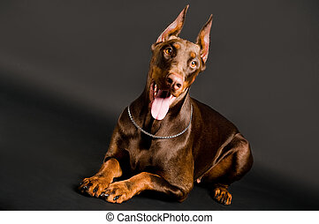 doberman over black - Portrait of lying purebred brown...