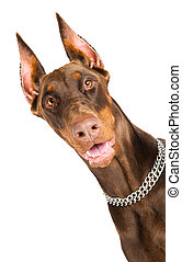 doberman isolated over white - Portrait of purebred brown...