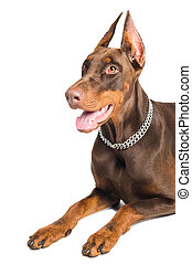 doberman isolated over white - Portrait of lying purebred...