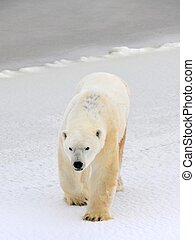 Polar bear - Polar bear in a native habitat Snow A frost...